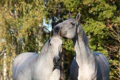 Portrait de deux chevaux blancs ensemble Image libre de droits