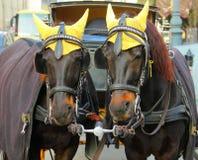 Portrait de deux chevaux gentils de corneille de coachfellow photographie stock