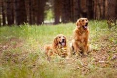 Portrait de deux chiens Photo stock