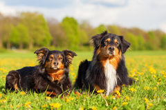 Portrait de deux chiens de berger australiens Image stock