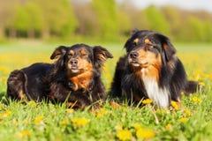 Portrait de deux chiens de berger australiens Photographie stock