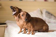 Portrait de deux chiens de teckel se trouvant sur le lit blanc Photo stock