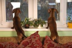 Portrait de deux d'amis chiens de teckel Photo libre de droits
