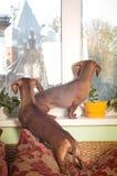 Portrait de deux d'amis chiens de teckel Photographie stock libre de droits