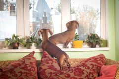 Portrait de deux d'amis chiens de teckel Image libre de droits