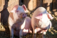 Portrait de deux porcs domestiques regardant par une barrière Images stock