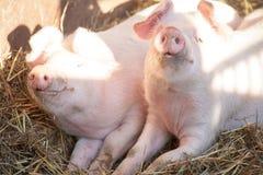 Portrait de deux porcs domestiques regardant par une barrière Photos stock