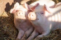 Portrait de deux porcs domestiques regardant par une barrière Photos libres de droits