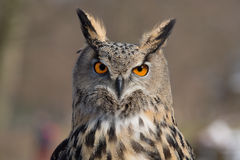 Portrait de duc d'Eagle Owl An Photos stock