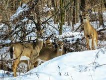 Portrait de famille de cerfs communs dans la neige Photo stock