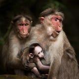 Portrait de famille des singes de macaque. Inde Images stock