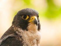Portrait de faucon pérégrin photographie stock