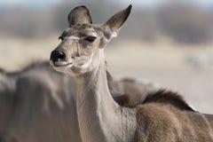 Portrait de femelle de Kudu Photo stock