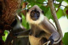 Portrait de femelle de singe Images libres de droits
