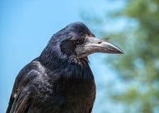 Portrait de freux - frugilegus de Corvus un jour ensoleillé photo stock