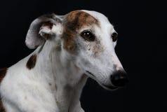 Portrait de Galgo dans le studio Image stock
