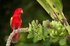 Portrait de garrulus rouge de belle vibration Lory Lorius sur une banane images libres de droits