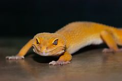 Portrait de gecko de léopard photographie stock libre de droits