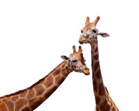 Portrait de girafe Photos stock