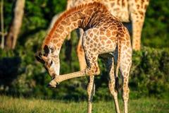 Portrait de girafe sur une savane Photographie stock