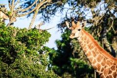 Portrait de girafe sur une savane Photographie stock libre de droits