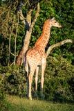 Portrait de girafe sur une savane Image libre de droits