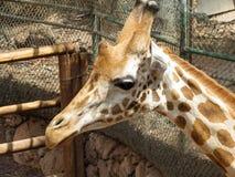Portrait de giraffa Photo libre de droits
