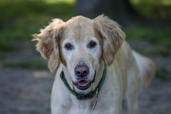 Portrait de golden retriever photo stock