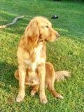 Portrait de golden retriever calme Corps sain de chien menteur futé images stock