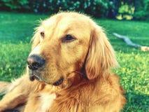 Portrait de golden retriever calme Corps sain de chien menteur futé photo stock