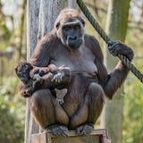 Portrait de gorille africain femelle puissant à la garde avec un bébé image libre de droits