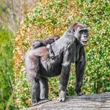 Portrait de gorille africain femelle puissant à la garde avec un bébé images libres de droits