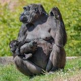 Portrait de gorille africain femelle puissant à la garde avec un bébé photographie stock libre de droits