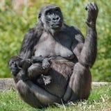 Portrait de gorille africain femelle puissant à la garde avec un bébé images stock