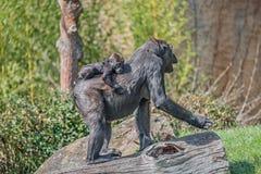 Portrait de gorille africain femelle puissant à la garde avec un bébé photo libre de droits