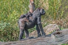 Portrait de gorille africain femelle puissant ? la garde avec un b?b? image libre de droits