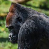 Portrait de gorille africain de mâle alpha puissant à la garde image libre de droits
