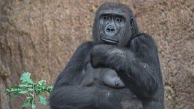 Portrait de gorille africain puissant images libres de droits