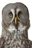 Portrait de grand Grey Owl ou hibou de la Laponie, nebulosa de Strix, un hibou très grand photos stock