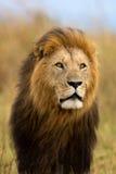 Portrait de grand Lion Caesar Photo libre de droits