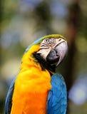 Portrait de grands aras bleus Images libres de droits