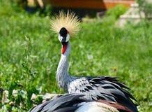 Portrait de Gray Crowned Crane Photos libres de droits