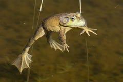 Portrait de grenouille tout en vous regardant Images libres de droits