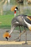 Portrait de Grey Crowned Crane Image stock
