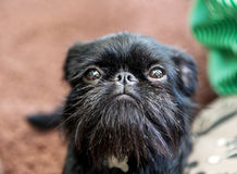 Portrait de griffon de pure race de Belge de chien Photos libres de droits