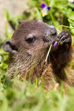 Portrait de Groundhog Photographie stock