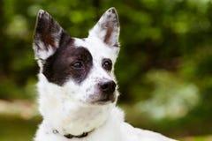 Portrait de heeler bleu ou de chien australien de bétail Image libre de droits
