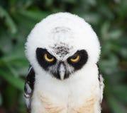Portrait de hibou à lunettes Photo libre de droits