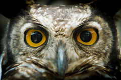 Portrait de hibou regardant fixement la fin d'appareil-photo  Photo stock