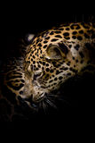 Portrait de Jaguar Photo libre de droits
